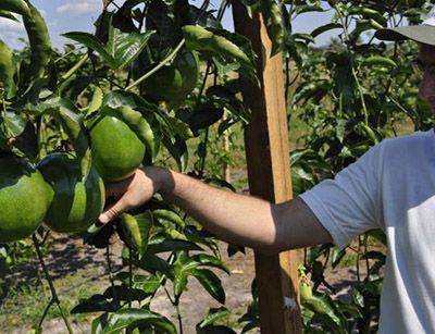 Inscrição Curso Gratuito Técnico em Fruticultura 2018